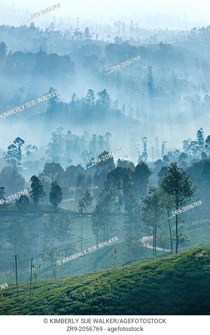 Ceylon tea plantation at dawn, Dickoya, Hill Country, Sri Lanka, Indian Ocean, Asia