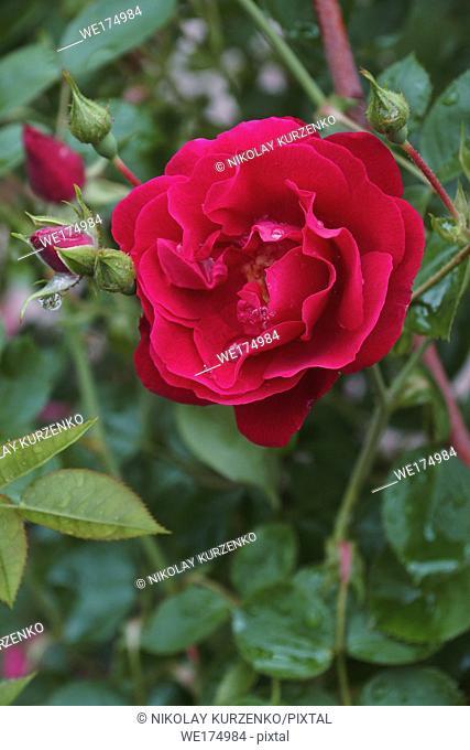 Hybrid rose (Rosa sp. )