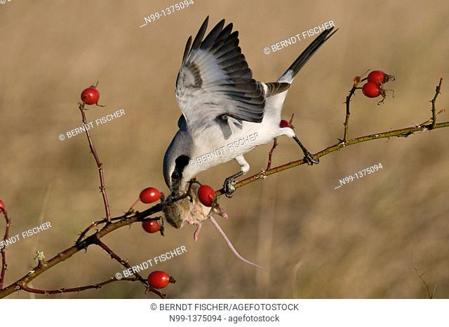 Great grey shrike Lanius excubitor, with captured mouse in hedge rose, rose hips, Bavaria, Germany