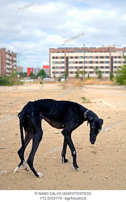Rescued black Spanish Greyhound starts a new life, after being abandoned by a hunter, in a state of advanced malnutrition