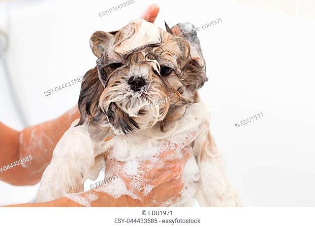 Bubble Bath a lovely dog Shih Tzu