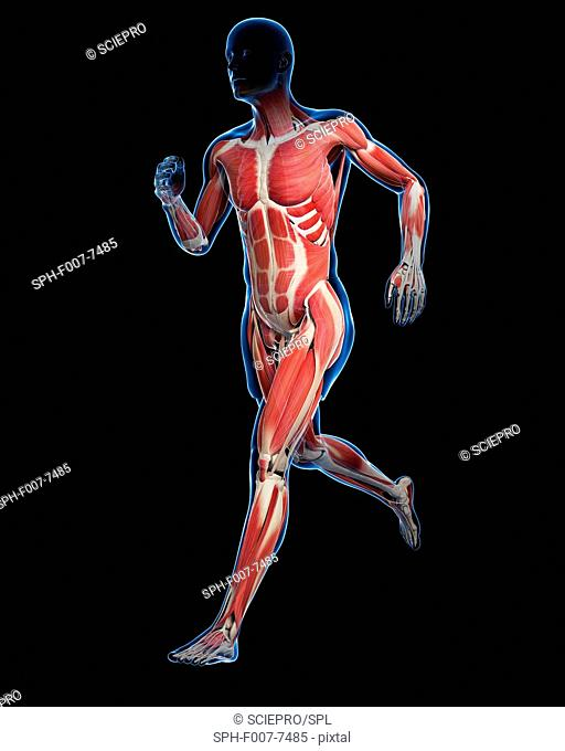Runner muscles, computer artwork