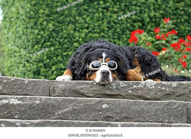 Bernese Mountain Dog Canis lupus f. familiaris, single animal with glasses lying on a wall, Germany