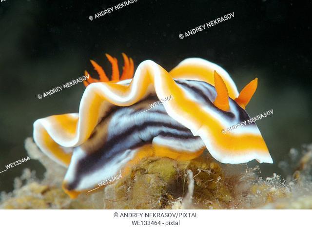 nudibranch or sea slug (Chromodoris quadricolor) Bohol Sea, Philippines, Southeast Asia