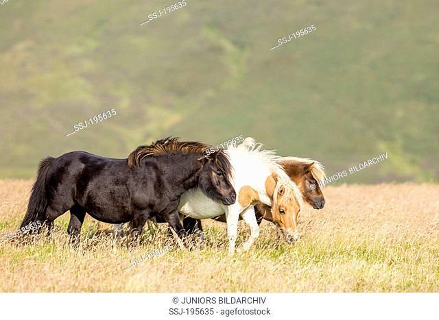 Shetland Pony Thre mares walking in tall grass Unst, Shetlands