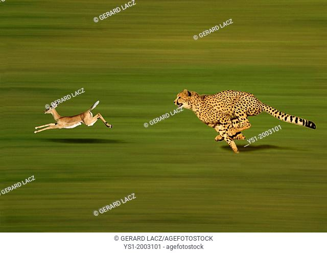 CHEETAH acinonyx jubatus, Adult hunting a Thomson's Gazelle, gazella thomsoni