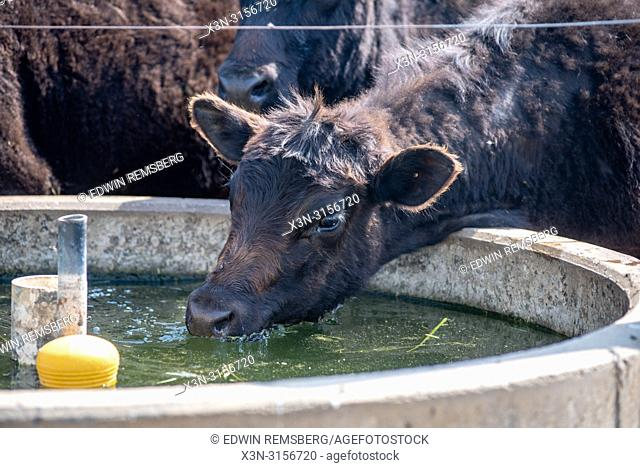 A cow (Bos taurus) drinks from a concrete drinking pad for cattle