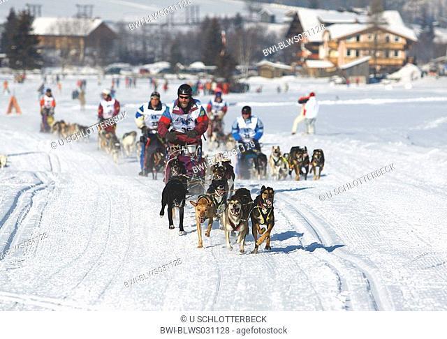 Alaskan Huskie Canis lupus f. familiaris, mass start at the Alpentrail 2005, Italy, Suedtirol, Sesto
