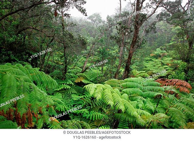 Rainforest, Kilauea, Island of Hawaii, USA