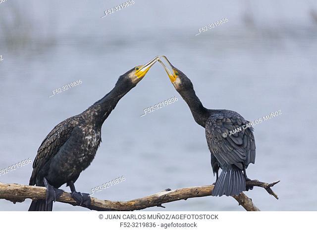 Great Cormorant (Phalacrocorax carbo, The Danubio Delta, Periprava, Romania