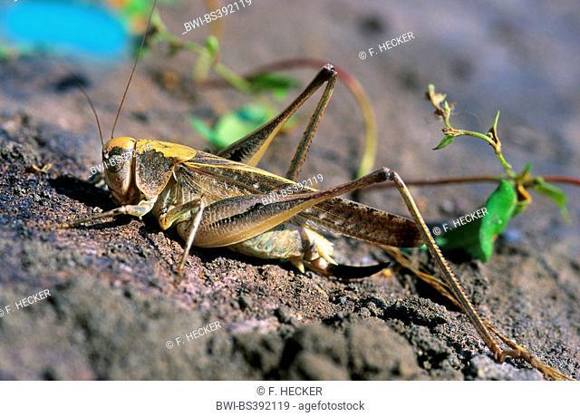 Western bushcricket, Grey Bush Cricket, Grey Bush-Cricket (Platycleis intermedia), female