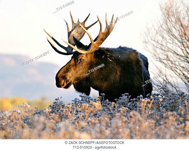 A bull elk at sunrise in the Tetons
