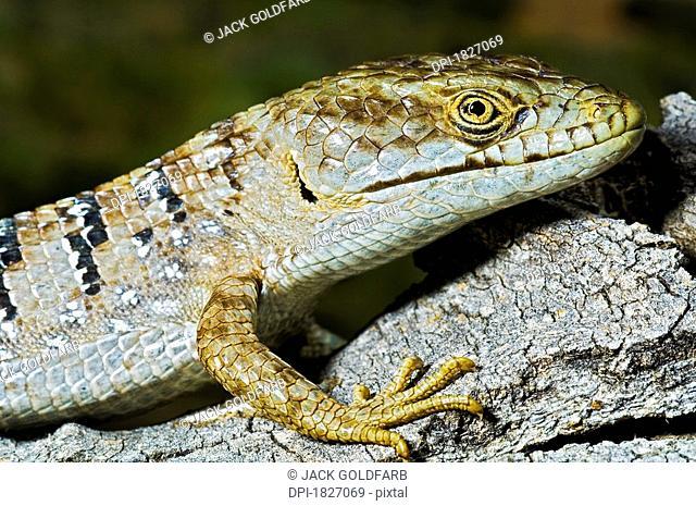 San Diego alligator lizard Elgaria Multicarinata