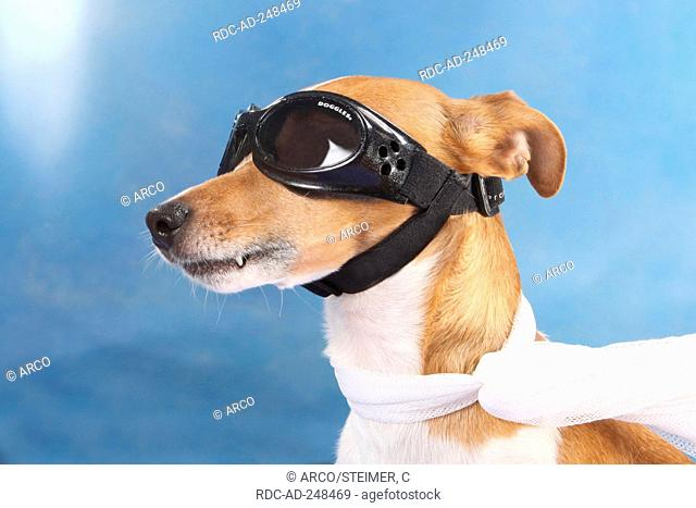 Jack Russell Terrier with glasses protecting glasses scarf