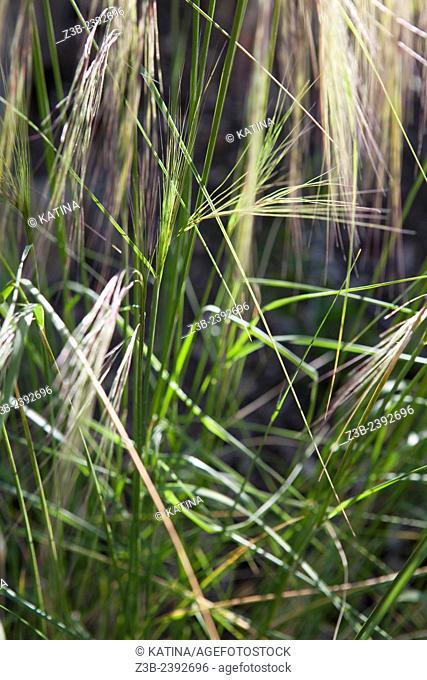 Morning sunlight on blades of grass and reeds at the Santa Barbara Botanic Garden, Santa Barbara, California, USA