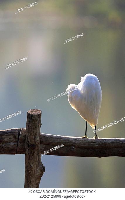 Little Egret (Egretta garzetta) preening feathers. Thailand