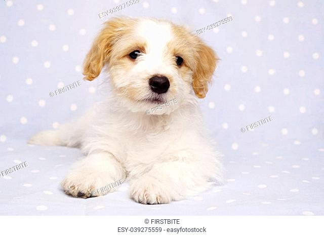 Sleepy Bichon Frise cross puppy laid on a baby blue spotted background