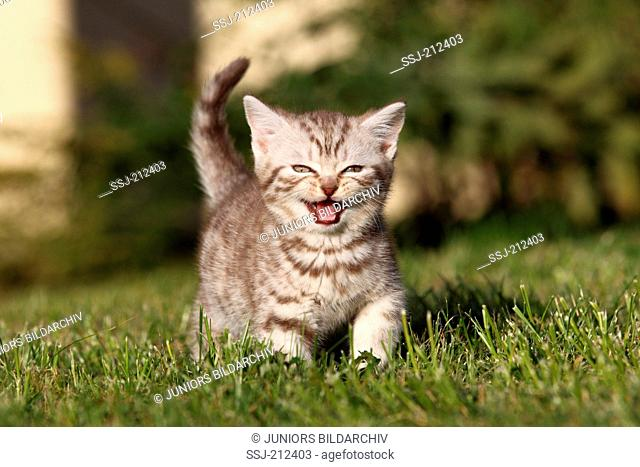 British Shorthair. Tabby kitten (8 weeks old) walking on a lawn while meowing. Germany