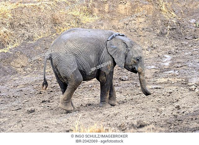 African Bush Elephant or African Savanna Elephant (Loxodonta africana), young taking a mud bath, Masai Mara, Kenya, East Africa, Africa