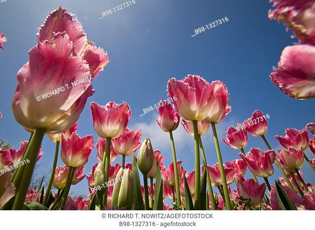 Annual Tulip Festival in Holland, Michigan  Veldeer's Tulip Farm