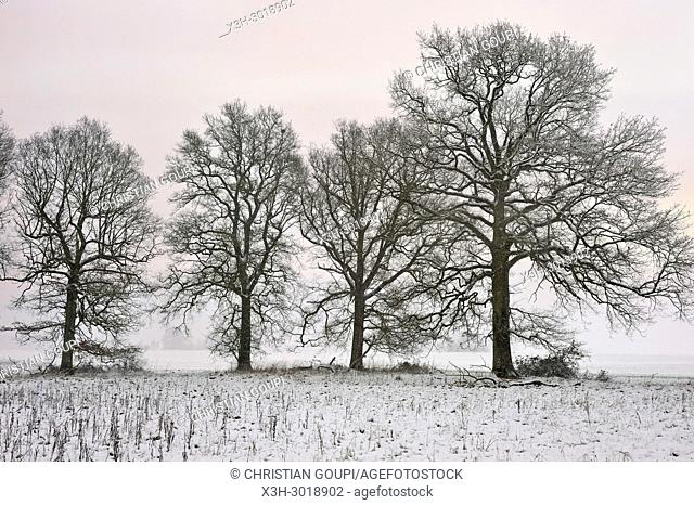 covered with snow oak trees in a field on the edge of the Forest of Rambouillet, Haute Vallee de Chevreuse Regional Natural Park, Yvelines department