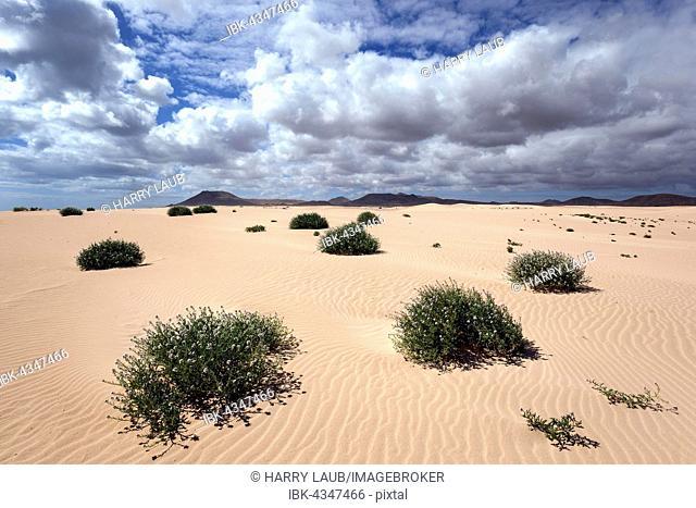 Flowering plants growing in the sand dunes, wandering dunes El Jable, Las Dunas de Corralejo, Corralejo Natural Park, Fuerteventura, Canary Islands, Spain