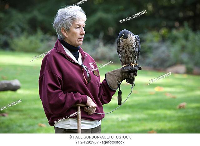 Keeper giving a program wih a Peregrine Falcon at the Raptor Center - Woodland Park Zoo - Seattle, Washington