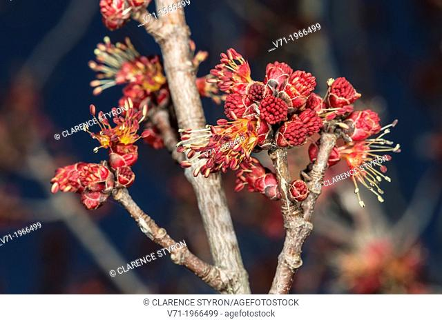 Male Red Maple Flowers Acer rubrum in Corolla, NC, USA
