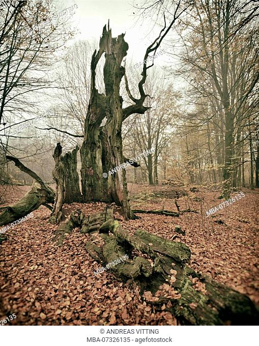 Ruin of an old beech tree in a former wood pasture, analogous editing, Sababurg, Reinhardswald, north Hesse, Hesse, Germany