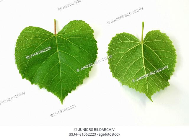 Large-leaved Lime (Tilia platyphyllos) leaves, front and backside, studio picture