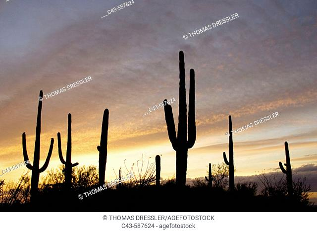 Giant Saguaro (Carnegiea gigantea) - Symbol of the American Southwest and indicator of the Sonoran Desert. At sunset. Saguaro National Park (eastern section)
