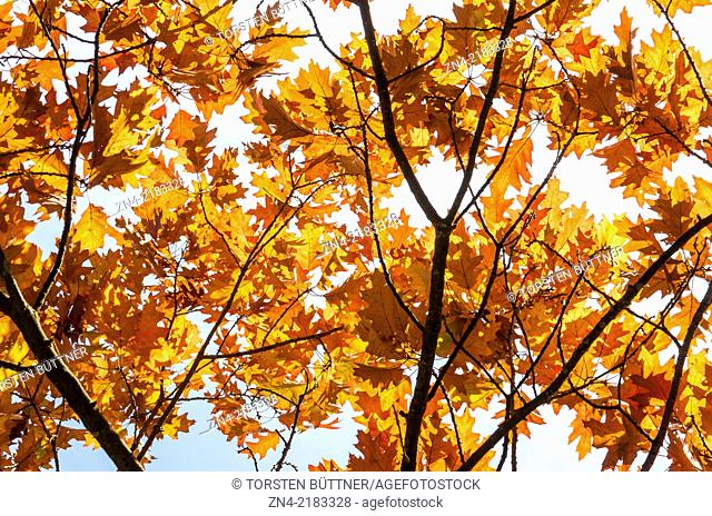 Oak Leaves in Late Autumn. Bad Schallerbach Recreational Park. Austria