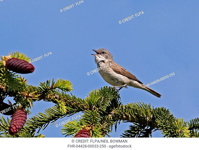 Lesser Whitethroat (Sylvia curruca curruca) adult male, singing, perched in fir tree, Sorve Peninsula, Saaremaa Island, Saare County, Estonia, June