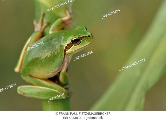 Full-grown Mediterranean Tree Frog (Hyla meridionalis) on reed, Alentejo, Portugal