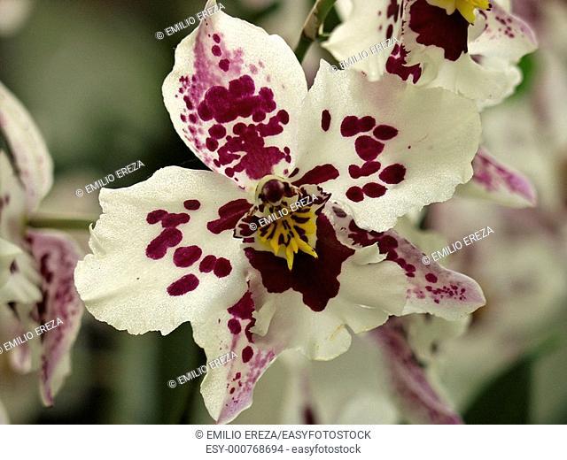Orchid Odontoglossum hybr 'Anna Claire'