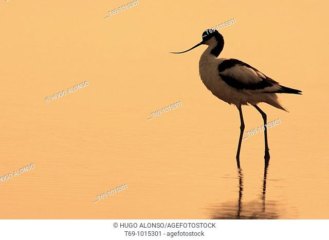 Pied Avocet (Recurvirostra avosetta). Ebro delta. Tarragona. Spain