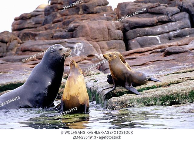 A bull with female California sea lions (Zalophus californianus) on the rocks of the Los Islotes Islands in Baja California, Mexico