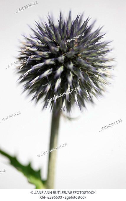 echinops ritro, globe flower, globe thistle still life - language of flowers ''nobility of character''