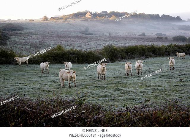 France, Burgundy, Charolais cattle on pasture near Nevers