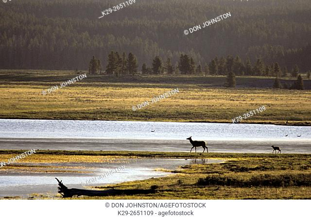 Elk (Cervus elaphus) Cow and calf along Yellowstone River, Yellowstone National Park, Wyoming, USA