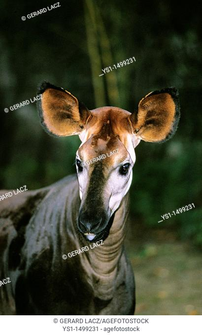 Okapi, okapia johnstoni, Portrait of Adult
