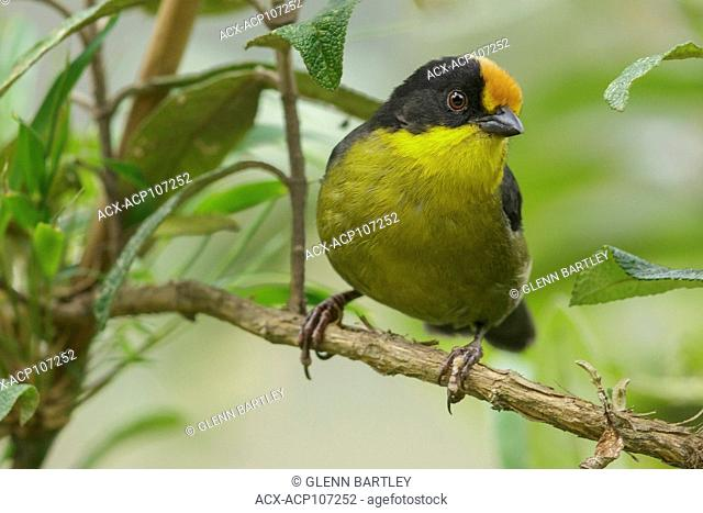 Pale-naped Brush Finch (Atlapetes pallidinucha) perched on a branch in the mountains of Colombia, South America