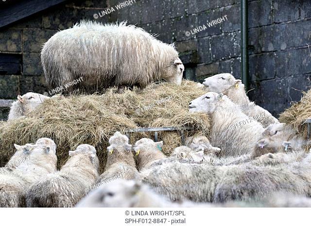 Sheep feeding on a large mound of hay in a farmyard
