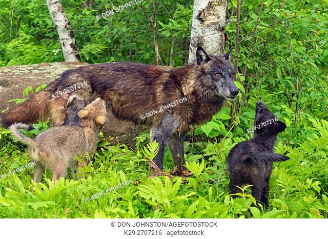 Gray wolf (Canis lupus} captive raised- Black-morph adult and cubs, Minnesota Wildlife Connection, Sandstone, Minnesota, USA