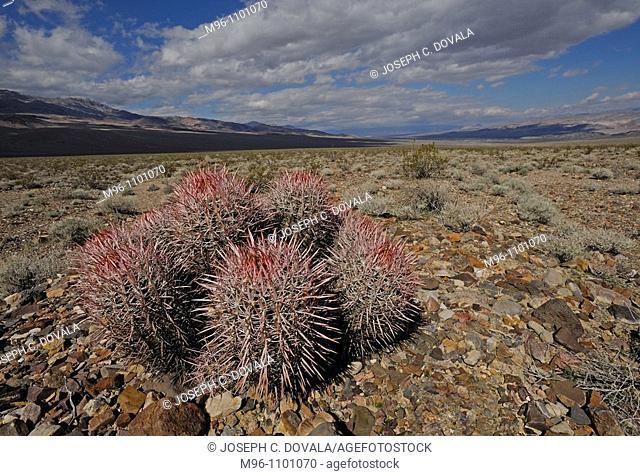 Barrel cactus with rain clouds, Ferocactus sp, Death Valley National Park, California, USA