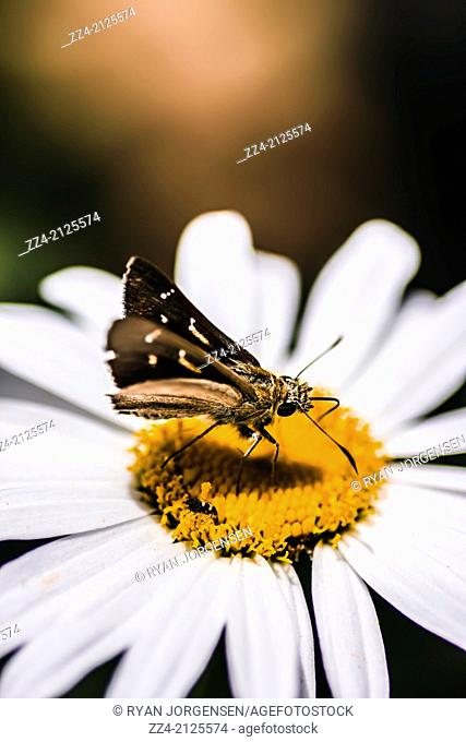 Splendid colour image of moth insects standing on a bright and lush garden flower captured with environmental copyspace