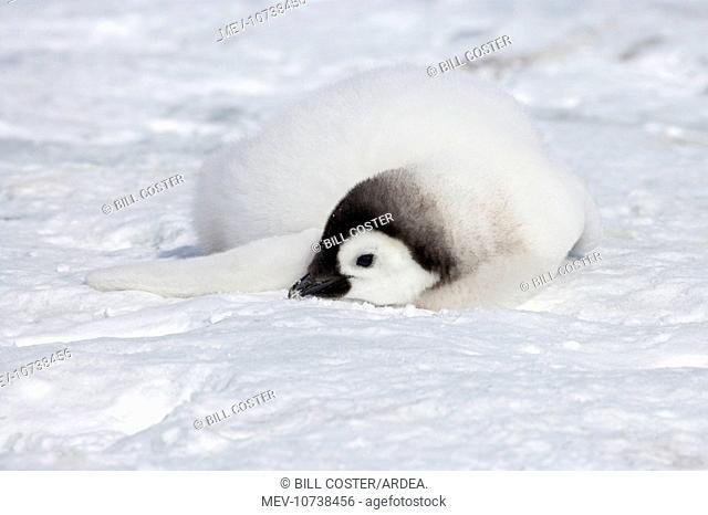 Emperor Penguin - Chick Eating Snow (Aptenodytes forsteri)