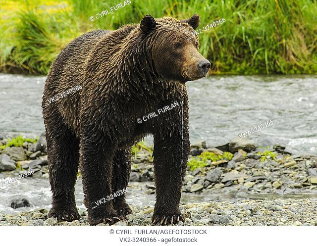 Grizzly female emerging from water Katmai National Park