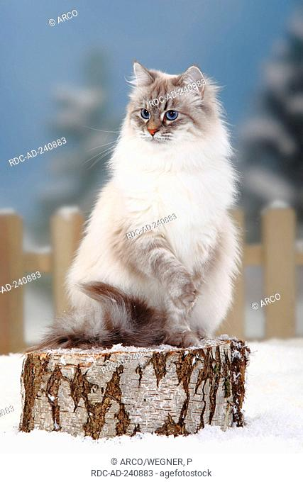 Neva Masquarade blue-silver-tabby-point Siberian Forest Cat Siberian Cat Siberia Neva Masquerade