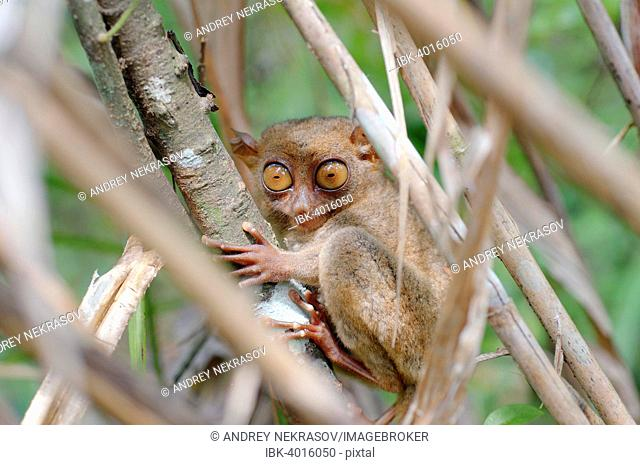 Philippine Tarsier (Carlito syrichta) sitting in a tree, Bohol Island, Southeast Asia, Philippines